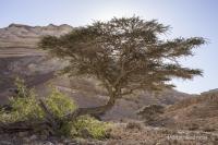 Oman-Baum