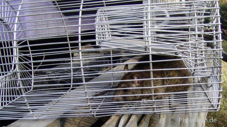Ratte in der Falle