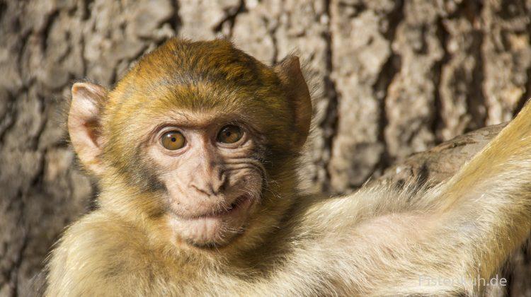 Affen in Marokko