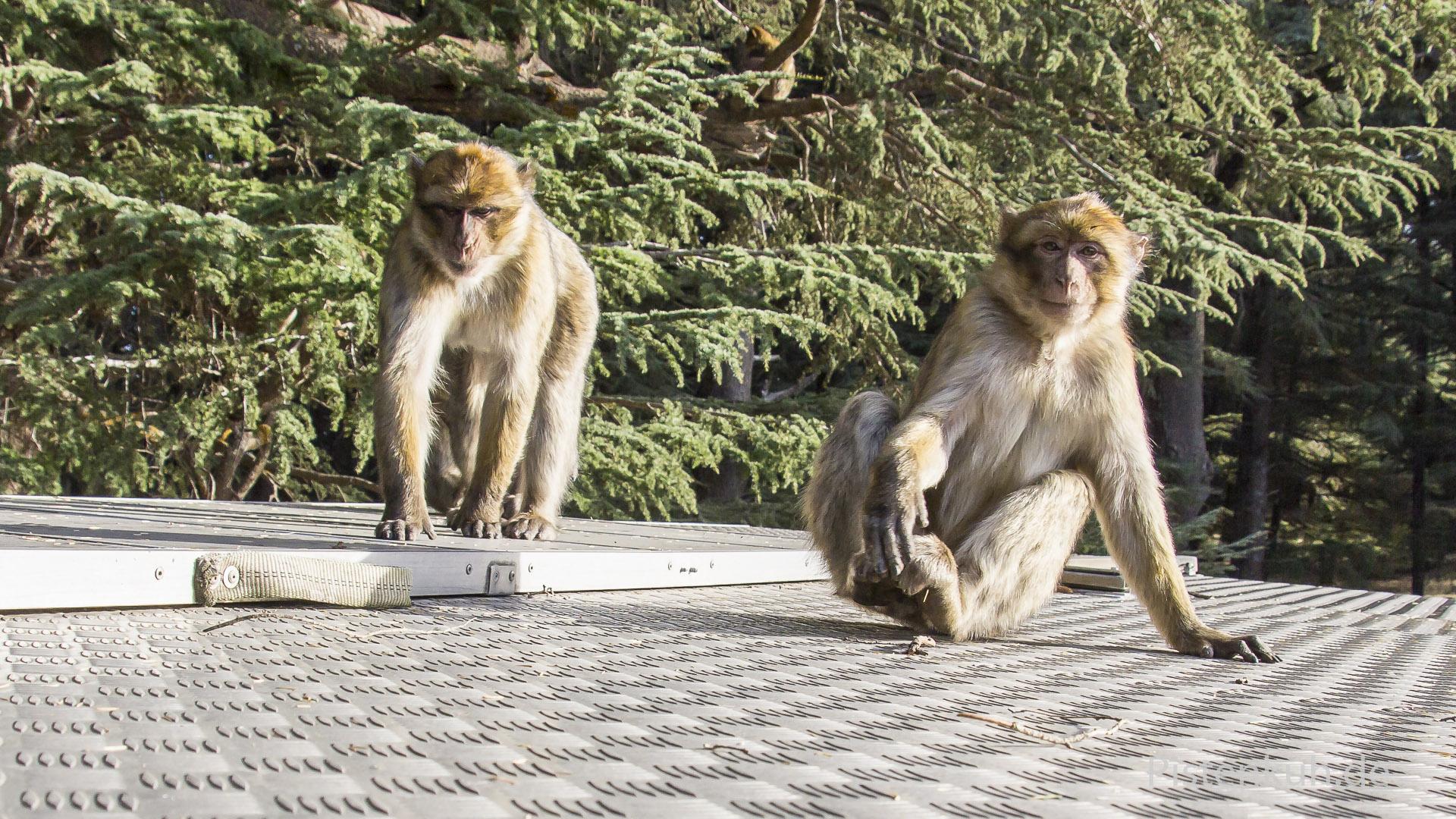 Affen auf dem Dach