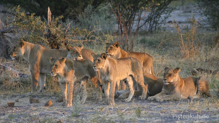 Löwen in Botswana