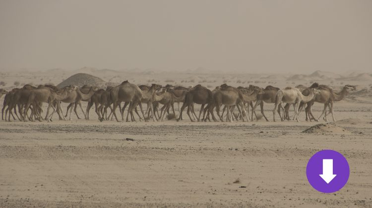 Dromedarherde in Mauretanien