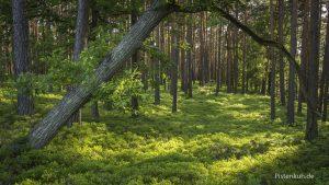 Waldbeeren gedeihen in großen Teppichen im Mischwald