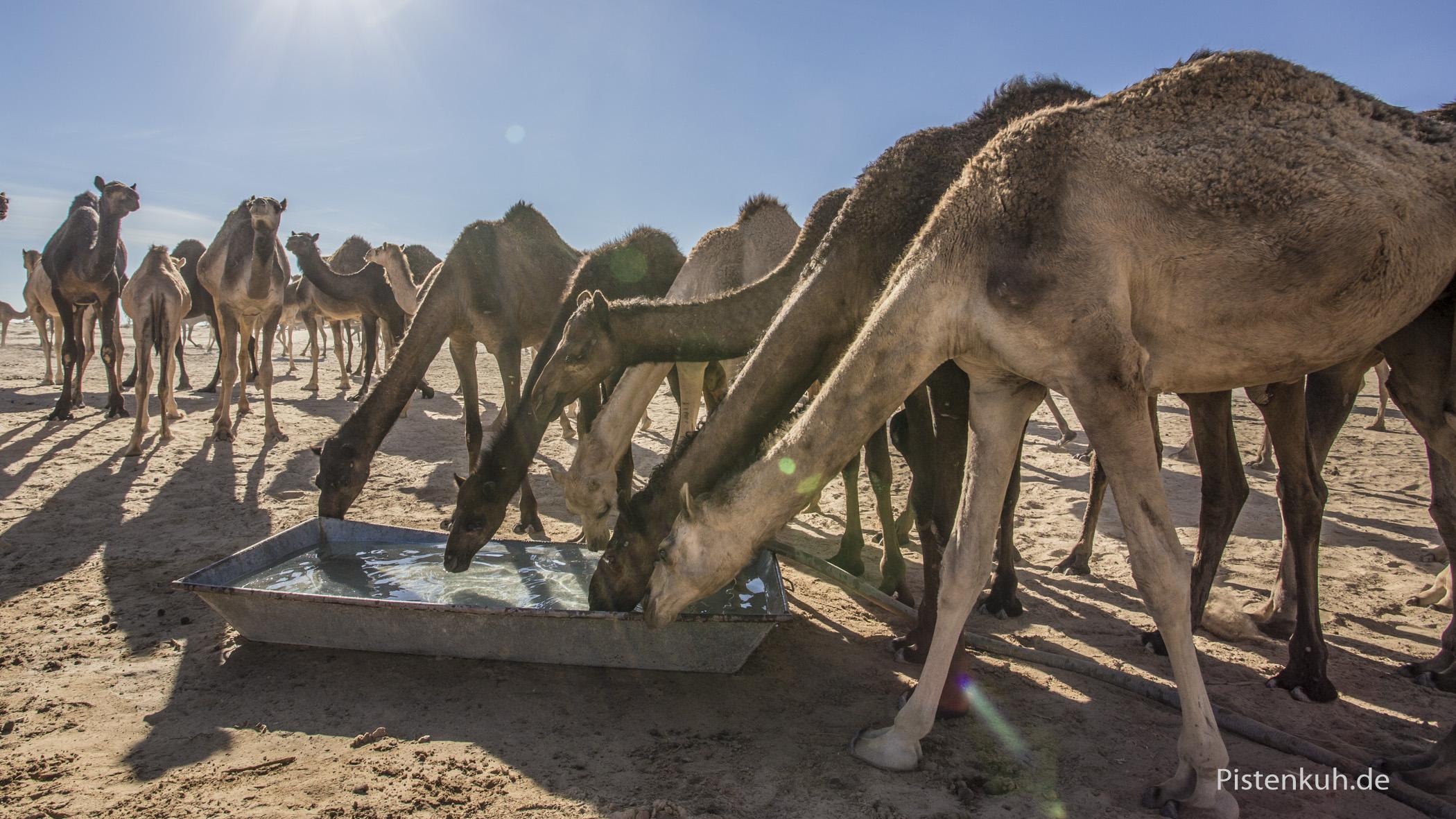 Dromedarherde in Oman