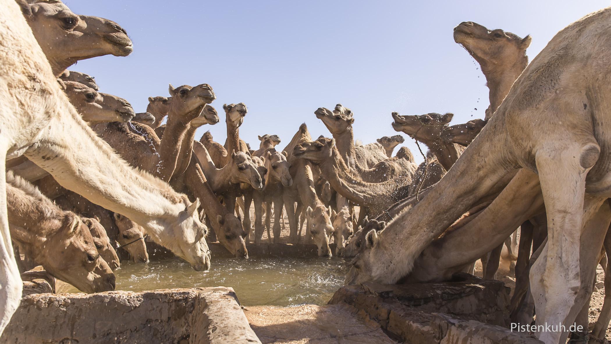 Herde Dromedare am Brunnen in Mauretanien